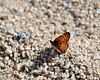 Butterfly, Joshua Tree National Park