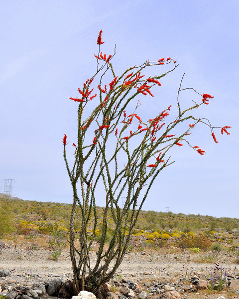 Ocotillo, Joshua Tree National Park