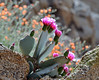 Beavertail Cactus Flower, Joshua Tree national Park