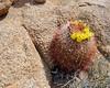 Barrel Cactus, Joshua Tree National Park