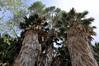 Cottonwood Oasis, Joshua Tree National Park