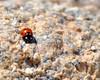 Ladybug, Joshua Tree National Park