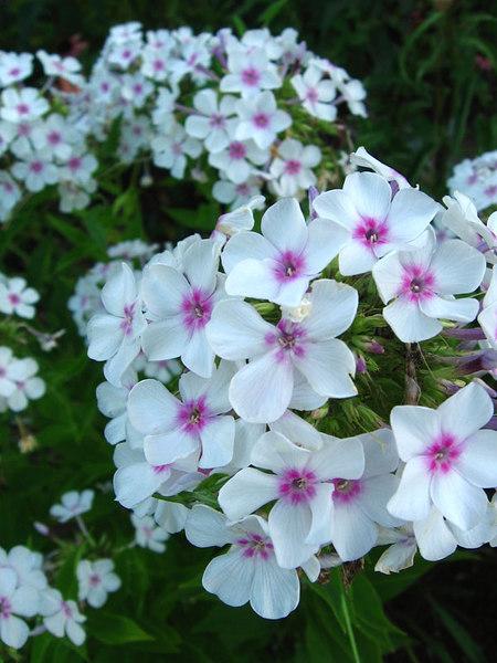 "Tall Garden Phlox-- ""Bright Eyes"" I think."