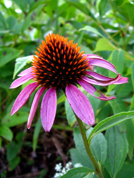 This purple coneflower isn't as pristine as it was but<br /> the very bright center spikes made it an interesting subject.