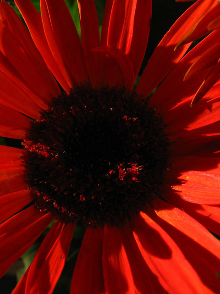 Gerbera daisy that is starting to look a little ragged.<br /> I thought it still made a colorful and interesting subject though.