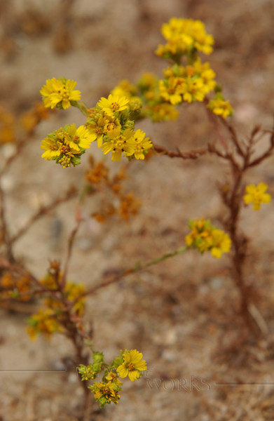 Flower growing in coastal sand - Torrey Pines, CA [needs i.d.]