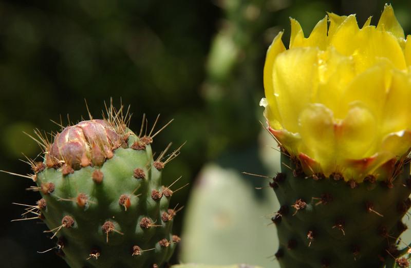 Prickly pear in bloom - Mt. Soledad, San Diego