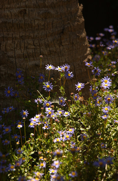 Asters by palm tree - San Diego Harbor, CA