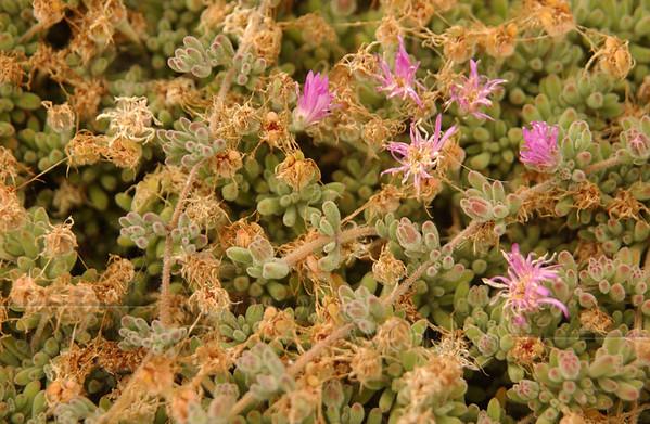 Flowering succulent (Needs I.D.) - Pacific Beach, CA