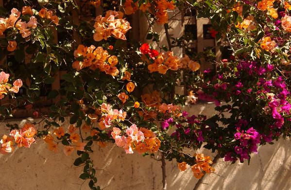 Flowers on trellis in La Jolla, CA