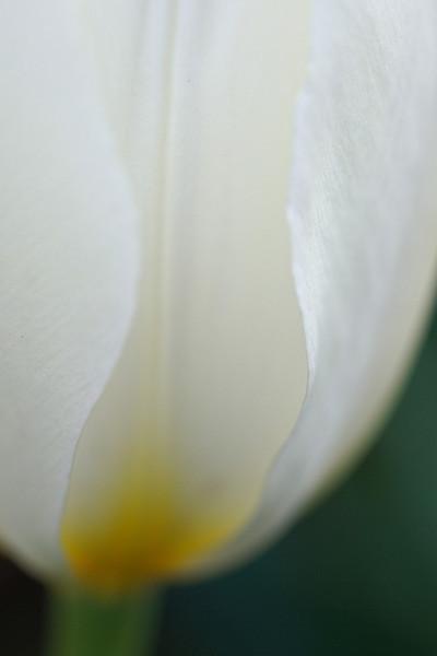 Our neighbor's tulip