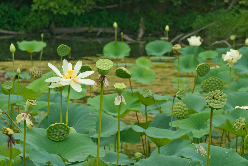 K-25 lotus pond-20110723-6-2