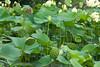K-25 lotus pond-20110723-8
