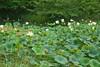 K-25 lotus pond-20110723-1