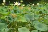 K-25 lotus pond-20110723-4