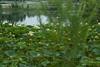 K-25 lotus pond-20110723-3
