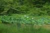 K-25 lotus pond-20110723-10