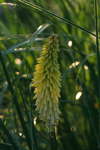Kniphofia 'Maid of Orleans'