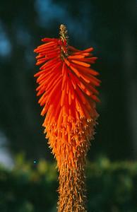 Kniphofia triangularis ssp.triangularis