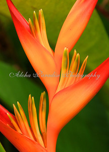 HELICONIA, NATIONAL TROPICAL BOTANICAL GARDEN