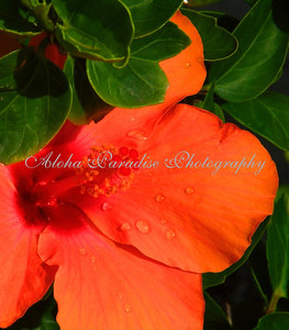 CORAL HIBISCUS AFTER RAIN