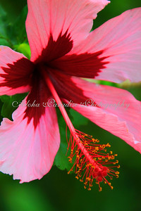 RED N PINK HIBISCUS