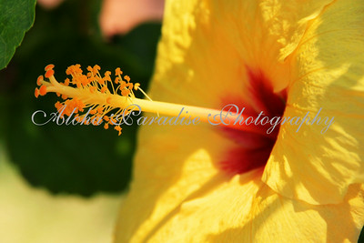 YELLOW HIBISCUS, HONOLULU ZOO, OAHU