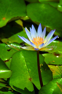 WATER LILY, NATIONAL TROPICAL BOTANICAL GARDEN