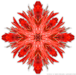 Indian Paintbrush Kaleidoscope