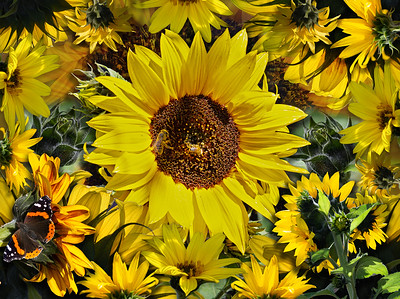 Sunflower Collage with Red Admiral Butterfly and Bees