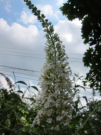 Karen's Flowers Butterfly Bush