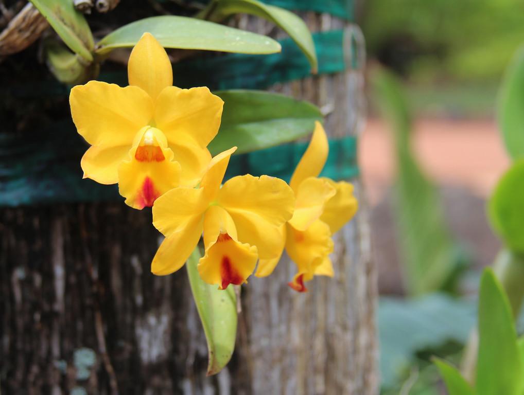 YellowOrchids