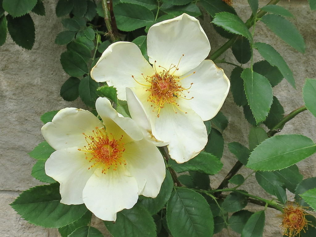 Angel Wings Rose<br /> One of the nicest fragrances of any rose.