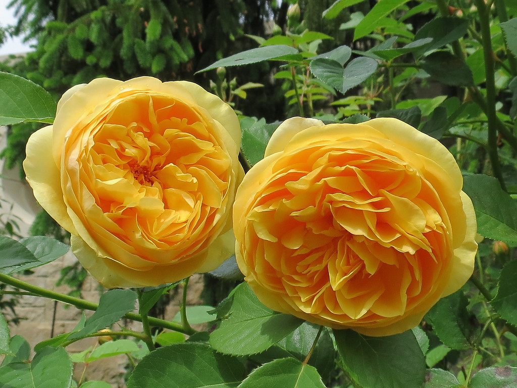 Perfect yellow roses.