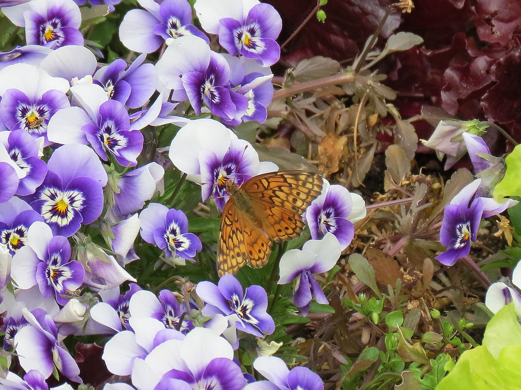 Butterfly and blue pansies.