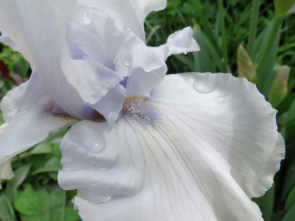 A very light blue bearded iris.