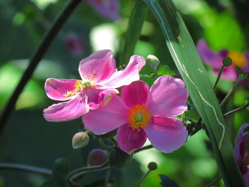 Grape Leaf Anemone