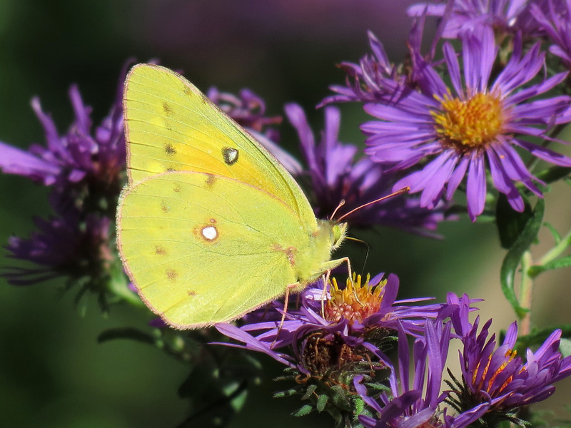 Sulphur Butterfly and Purple Asters
