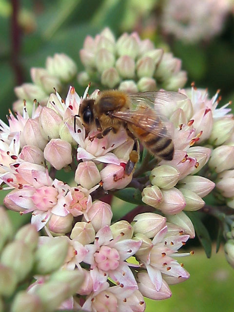"Honeybee on ""Matrona"" sedum."