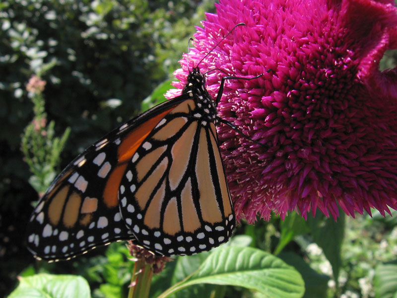 Monarch Butterfly on cockscomb (celosia).