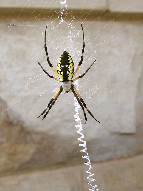 Argiope aurantia. A very large garden spider on it's web.
