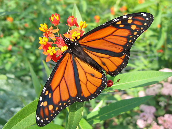 The garden was host to these monarchs.<br /> The butterflies were most interested in the asclepias or butterfly weed.<br /> This was taken in September.
