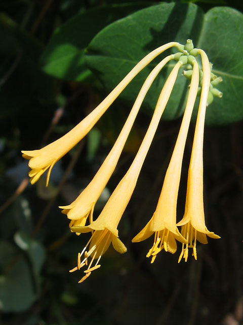 This lonicera (honeysuckle) is a perfect buttery yellow.