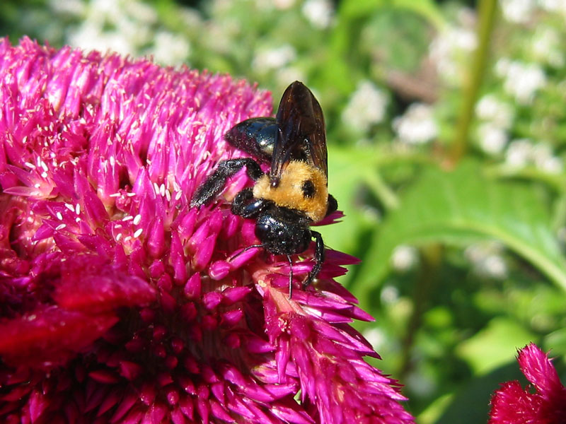 A very large bee on cockscomb (celosia).