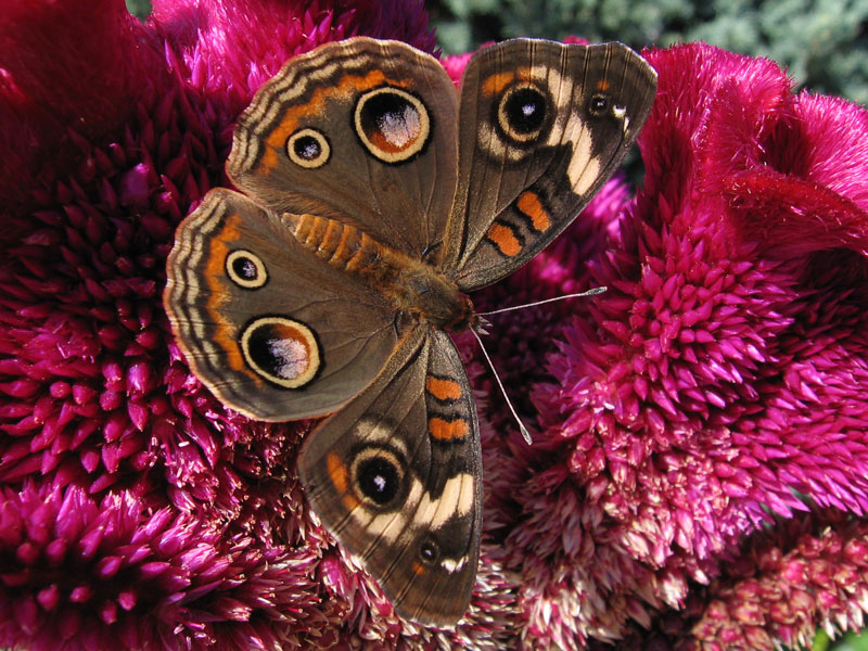 Common Buckeye butterfly on cockscomb (celosia).