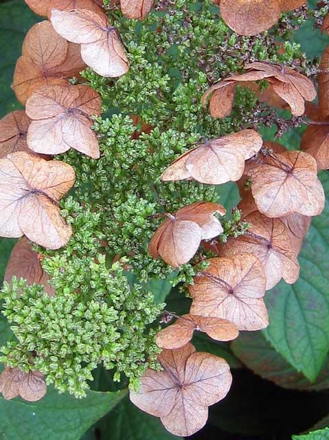 Oak leaf hydrangea.
