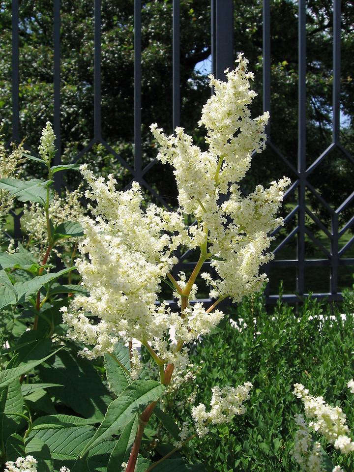 Himalayan Fleece Flower - persicaria polymorpha