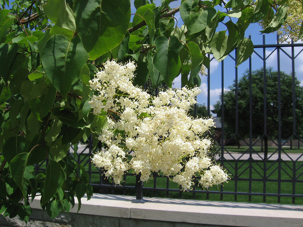 Peking Lilac -  China Snow (Syringa Pekinensis)