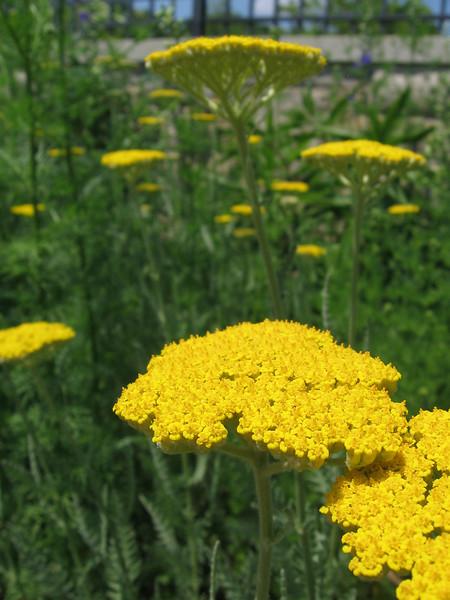 Coronation Gold - achillea millefolium