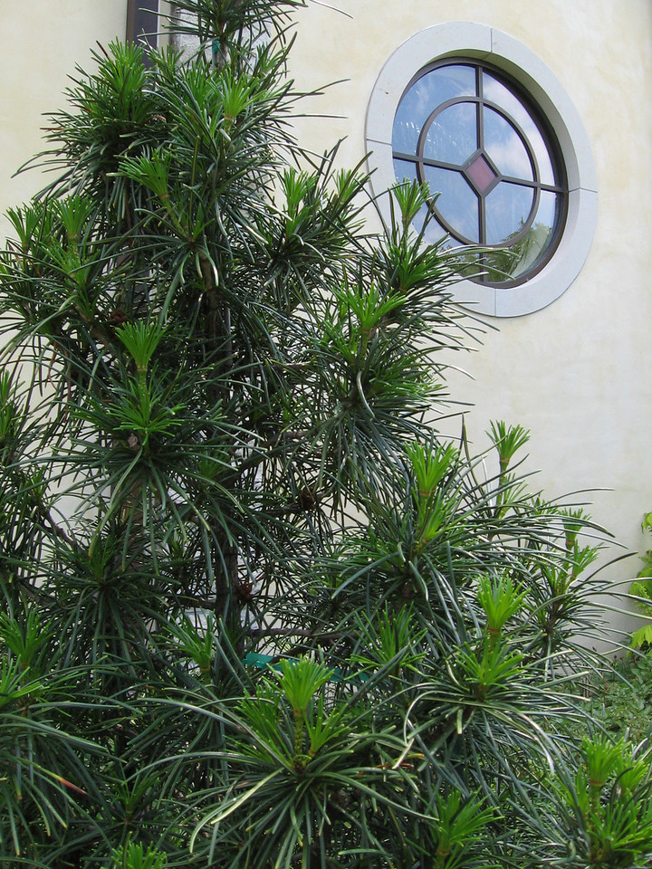 Japanese Umbrella Pine and one of the round windows.